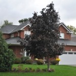 image of a large suburban home with two large trees out front, new shingled roof installed by Baron Roofing & Siding